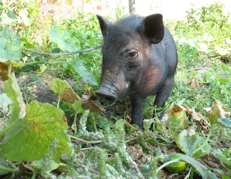 vietnamese  black pig  on a background of green leaves in the garden in a summer morning