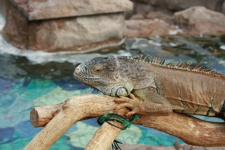 Iguana on a branch against a background of water photo