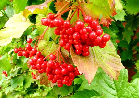 Red ripe berries in the garden in summer day
