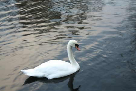 White swan in the dark water of the lake in autumn