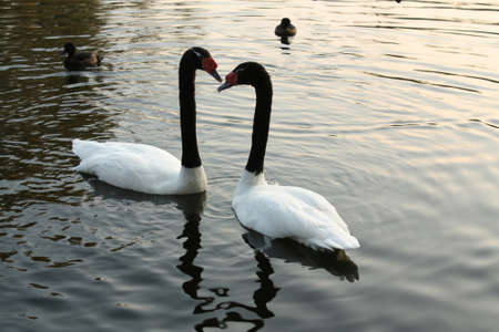 swans in the dark water of the lake in autumn