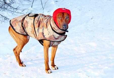 Dogs in winter dress too, when frost Stock Photo