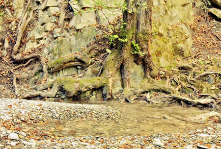 Old tree on a rock by the stream in relict caucasian  mountain forest