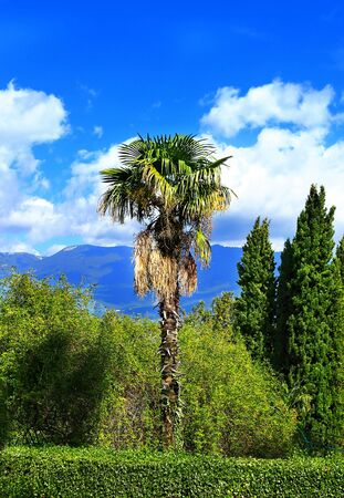 cypress tree: Palm tree on a background of cypress trees in the subtropical park