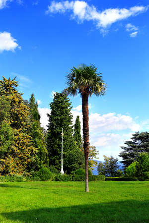 cypress: Palm tree on a background of cypress trees in the subtropical park