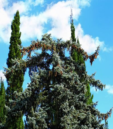 coniferous tree: Coniferous tree (deodar) with pine cones on the background of two cypress trees  and other plants in the subtropical park