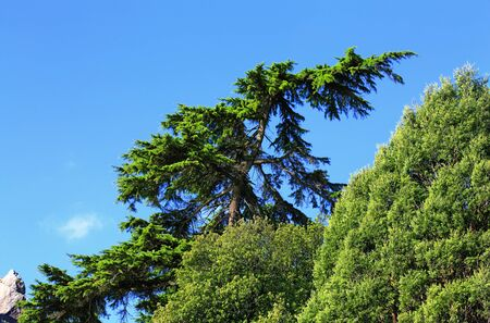 subtropical: Tops of the sub-tropical trees on the sky background