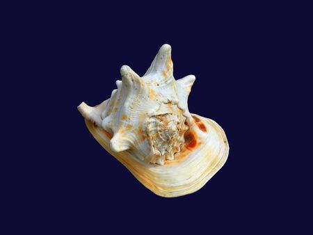 Shell Horned Helmet found in the western Indo-Pacific