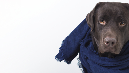 Portrait of a brown dog Labrador in scarf among soft warm cashmere woolen knitting clothes of blue color. Preparation for Autumn, Winter.