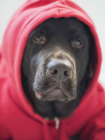 Portrait of purebred brown labrador dog in red sweatshirt