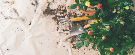 Frame of Gardening tools with mini Roses in pots  with copy space. Transplanting Plants.