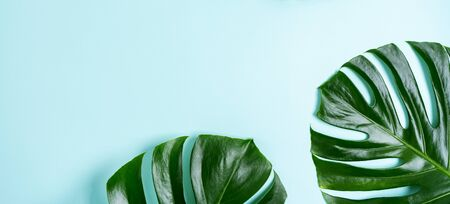Ð¡lose-up of monstera leaves on a turquoise light blue background with space for text. Trend frame with tropical mood.