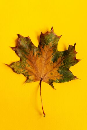 Closeup colored Maple leaf isolated on yellow background.