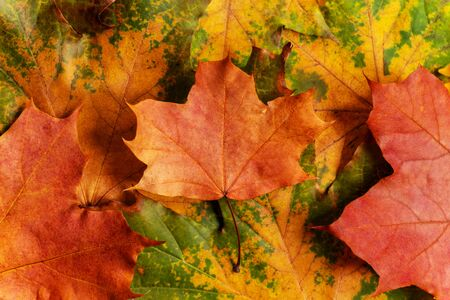 Autumn background with colored maple leaves. Creative season layout.