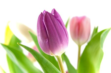 Purple tulip with blurred tulips of other colors in the background photo