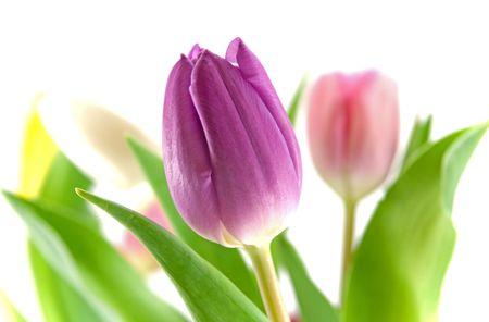 Prodigy: Purpurowe tulipan z rozmazany tulipanów innych kolorów w tle