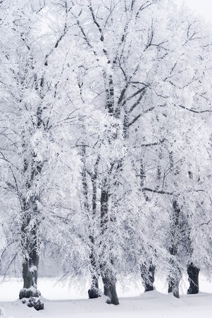 Trees covered in rime frost photo