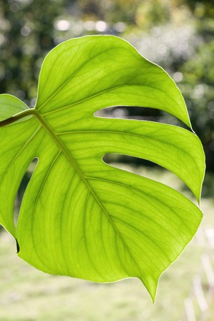 A large monstera deliciosa leaf Stock Photo - 8175164