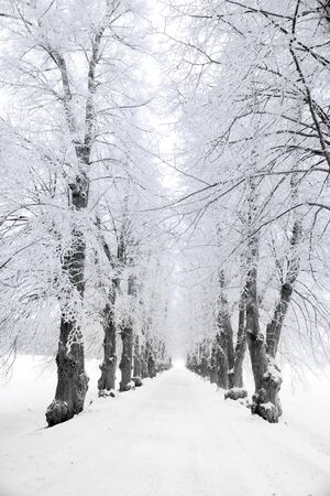 Avenue with trees covered in rime frost Stock Photo