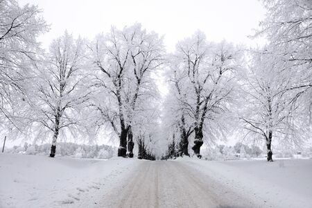 rime frost: Avenue in winter with trees covered in rime frost