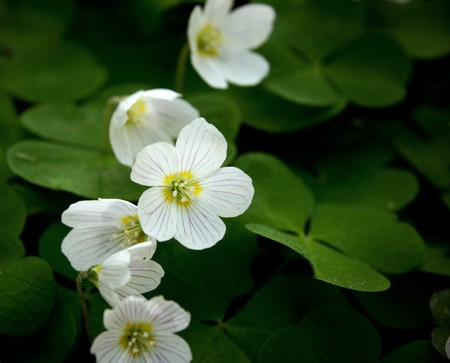 sour clover: Close up of a few white woodsorrel Stock Photo
