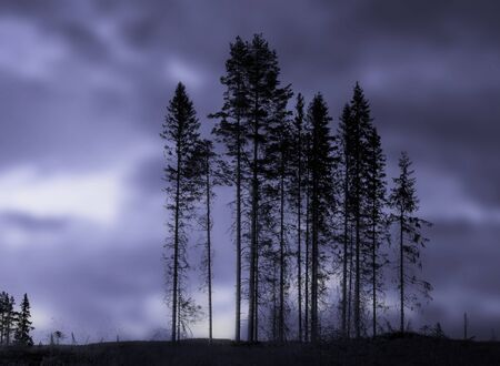 woodland  horror: Grove of spruces with blurred blue background Stock Photo