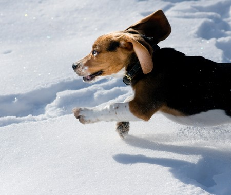 Beagle puppy happily running in snow photo