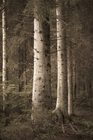 Big spruce trees in  sepia forest in evening light