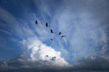 Canada geese migrating for the winter Stock Photo - 8175518