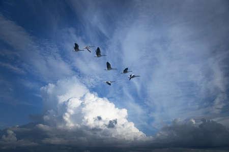 formations: Canadese ganzen migreren voor de winter Stockfoto