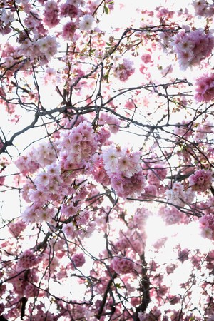 Beautiful branch of pink cherry flowers in spring photo