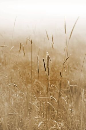 Close up of grass on a field on a misty morning