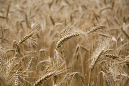 Ripe wheat in a field photo