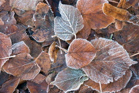 chrystals: A variery of frozen levaes on the ground. Most of them come from a lime tree. Stock Photo