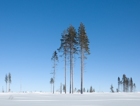 Group of conifers on a sunny winter day Stock Photo - 8304908
