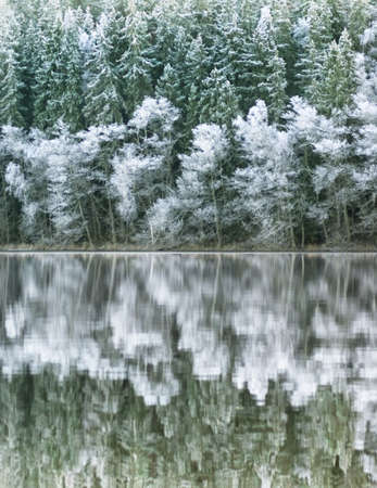 A forest of pine trees reflected in a lake in winter