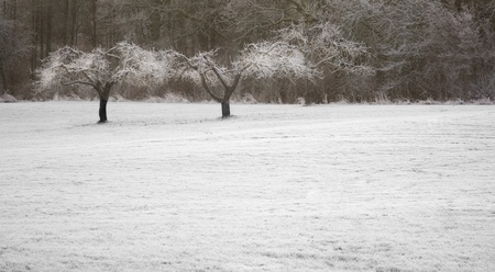 Trees with frost in a snow covered field Stock Photo - 8305451