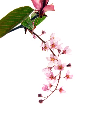 cherry blossom in japan: Purple leaf Bird Cherry isolated on white  Stock Photo