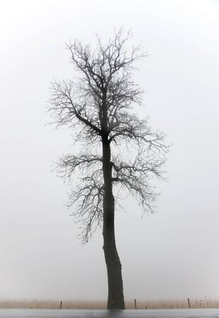 Silhouette of a bare tree on a foggy day  photo