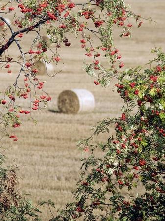Rowan drzewa o owocach jagodowych. Whet pole wit siana Balie w tle Zdjęcie Seryjne - 8305309