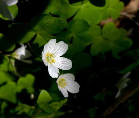 wood sorrel: Close up de acedera en bosque Foto de archivo