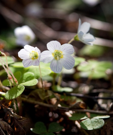 sour clover: Close up of wood sorrel in forest
