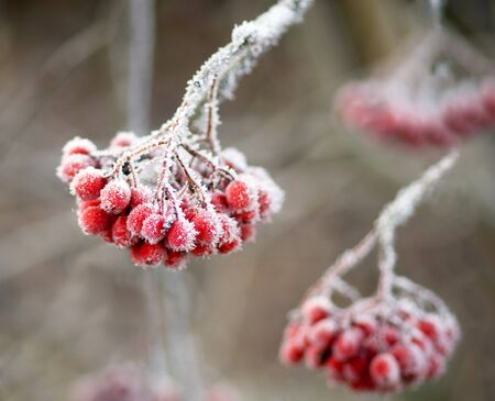 frost covered: Bunch of rowan berries with ice crystals Stock Photo