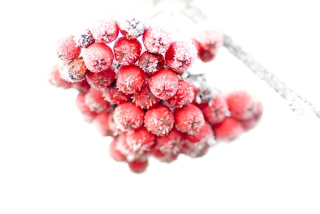 frost covered: Close up of frozen rowan berries on white background Stock Photo