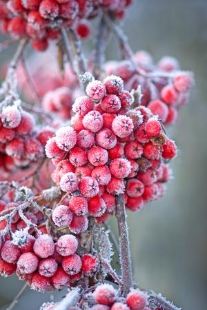 eberesche: Close up of B??ndel der Rowan Beeren mit Eiskristallen