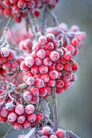 Close up of bunches of rowan berries with ice crystals photo