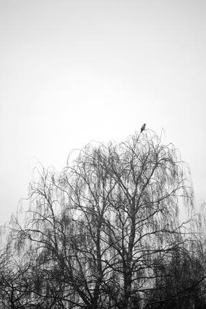 Jackass in the topp of a birch tree inn winter Stock Photo - 8305240