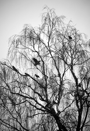 Silhouette of birch trees with birds against gray sky photo