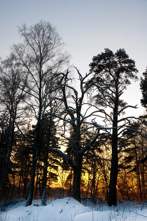 Bare trees in sunset in cold winter photo
