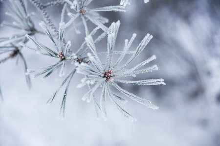 Twig of conifer with frost on the needles photo